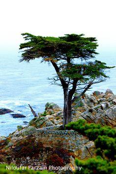 The Lone Cypress, Pebble Beach / Carmel, Ca Pebble Beach, Bonsai, Places Ive Been, Coast, California, World, Water, Trees, Outdoor