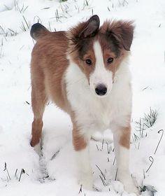 Phoenix the Shetland Sheepdog