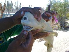 Requin cyclope!! capturé par un pêcheur californien en octobre 2011 (il ne serait pas photoshoppé : http://www.livescience.com/16564-cyclops-shark-cryptozoology.html ) #WTF
