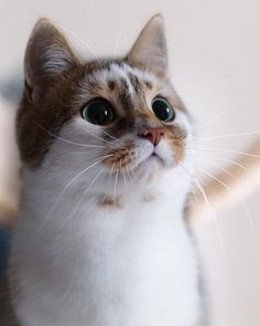 These cute kittens will warm your heart. Cats are awesome creatures. Cute Cats And Kittens, I Love Cats, Crazy Cats, Kittens Cutest, Ragdoll Kittens, Tabby Cats, Funny Kittens, Bengal Cats, Most Beautiful Cat Breeds