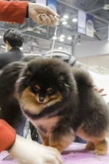SHOW DOG Korea Pomeranian