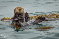 Sea Otter floating in kelp by betty wiley, via Flickr