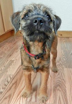 Look at that sweet face! Sterling is a Border Terrier puppy. Cute Puppy Names, Cute Puppies, Cute Dogs, Dogs And Puppies, Doggies, Funny Dogs, Border Terrier Puppy, Terrier Dogs, Terriers