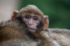 Baby Berberaap. #apenheul