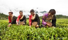 tea plantation in Tibet China Human Rights, Teapot Cookies, Harvest Season, Plantation, Rest Of The World, Tibet, Trees To Plant, Images, Seasons