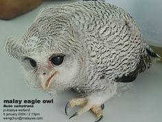 Malay Eagle Owl Pinned by www.myowlbarn.com