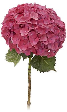 Google Image Result for http://www.flamingpetal.co.nz/wp-content/uploads/2011/03/hydrangea_red.jpg
