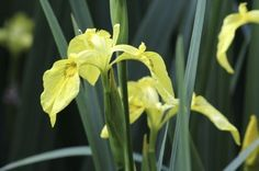 Yellow Flag Iris Control: How To Get Rid Of Flag Iris Plants -  There's no doubt that yellow flag iris is a gorgeous, eye catching plant. Unfortunately, the plant is as destructive as it is lovely. Learn more about yellow flag iris and how to control it in this article should the plant become troublesome for you.