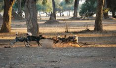 Tug of War at Chikwenya Eagle Watch, Waiting In The Wings, Rift Valley, Tug Of War, Shades Of Gold, Baboon, Wild Dogs, Travel Deals, Africa Travel