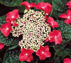 Hydrangea macrophylla Lady in Red - White Flower Farm Zones S / W; Beautiful Flowers, Hydrangea Shrub, Plants, Planting Flowers, Hydrangea Macrophylla, Flowers, White Flower Farm, Red Hydrangea, Container Gardening Shade