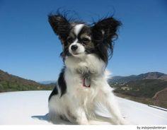 Raza de perros: Papillon