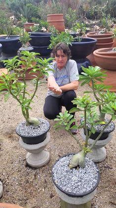 ROSAS DO DESERTO NA CHUVA 1