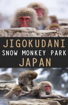 Jigokudani Snow Monkey Park is located in Yamanouchi district of the Japanese Alps. How to get to Jigokudani Snow Monkey Park. Monkey Park Japan, Snow Monkey Park, Jigokudani Monkey Park, Snow Monkeys, Travel Guides, Touring, Bucket, Pictures, Animals