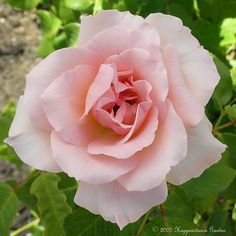 Full size picture of Rose 'Johann Strauss' (Rosa)