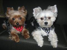 "'Our Girls"" - Bella (yorkie) - & Roxy (morkie aka maltese / yorkie)...."