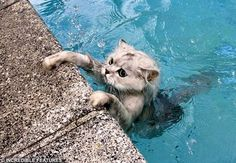 This cat is swimming and enjoying the water in the pool.