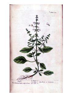 A Curious Herbal by Elizabeth Blackwell 1737. Basil
