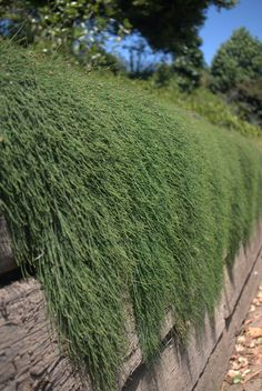Casuarina glauca prostrate spilling over the side of a retaining wall - Mallee Designs.
