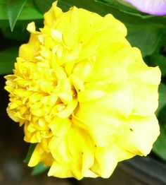 Yellow Marigold- one of my dad's favorite, they had to be giant.