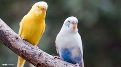 Image from http://lbc9.com/animals/birds/budgie/2-female-budgies-hd-background.jpg.