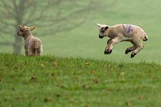 Spring Lambs frolic with a sense of real abandon~be abandoned more often. Baby Sheep, Sheep And Lamb, Spring Animals, Baby Animals, Animal Babies, Spring Lambs, Spring Images, Sheep Wool, Sheep Art