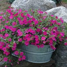 Galvanized container used as a planter. Million Bell Petunias
