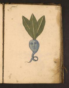 @jadummer Erbario, an illustrated herbal from Italy, 15th cen.