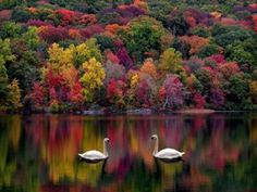 Love the colors and the swans in this photo!