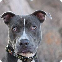 Adopt A Pet :: Scamp - Goleta, CA