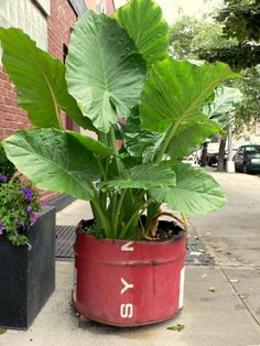 Repurpose and clean up an oil drum by torching and cut into planters to grow anything from taro and yams to herbs