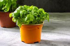 Pěstování bylinek - bazalka Lettuce, Pesto, Planter Pots, Vegetables, Food, Essen, Vegetable Recipes, Meals, Yemek