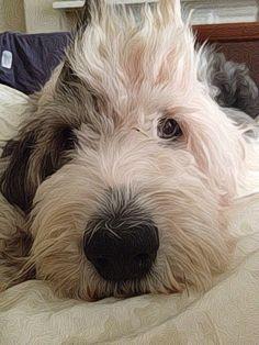 My baby..... Lulu, the old english sheepdog