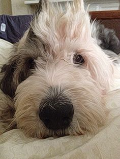 My baby..... Lulu, the old english sheepdog