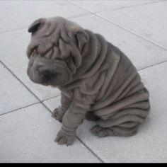 sharpei  Looks like my Pinky when he was a puppy! Miss u my best friend!