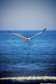 gull on wing over perfect blue sea Beautiful Birds, Animals Beautiful, Image Nature, Am Meer, Sea Birds, Wild Birds, Fauna, Ocean Life, Ocean Beach