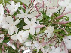 Pink night blooming Jasmine