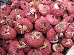 Как вырастить здоровые гладиолусы