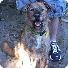 Beverly Hills, CA - Irish Wolfhound/Airedale Terrier Mix. Meet Perkins a Dog for Adoption.