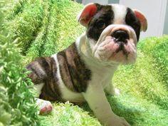English bulldog puppy www.truegabulldogs.com