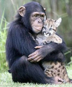 I'll be your mummy and you be my little kitty cat: Anjana the chimp shows off her parenting skills.with a puma cub .I'll be your mummy and you be my little kitty cat: Anjana the chimp shows off her parenting skills.with a puma cub. Animal Hugs, Especie Animal, Mundo Animal, Cute Baby Animals, Animals And Pets, Funny Animals, Wild Animals, Monkeys Animals, Cute Animals Images