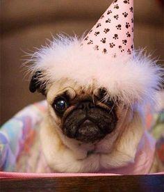 Cute happy birthday PUG.