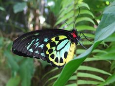 The Australian Butterfly Sanctuary is the leading Kuranda attraction.It is the largest butterfly flight aviary and exhibit in Australia Morpho Butterfly, Blue Morpho, Blue Butterfly, Butterfly Photos, Butterfly Wallpaper, Education In Australia, Butterfly Species, Blue Pigment, Largest Butterfly