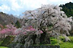 滝の如く - 大宇陀・又兵衛桜 (2012/4/17)