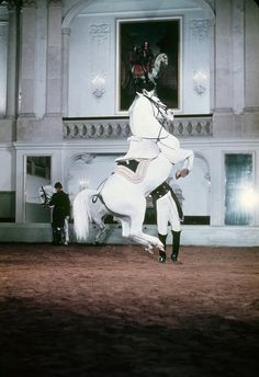 Lipizzan stallion at The Spanish Riding School in Vienna, Austria Most Beautiful Horses, All The Pretty Horses, Animals Beautiful, Zebras, Lippizaner, Lipizzan, Spanish Riding School, White Horses, Horse Pictures