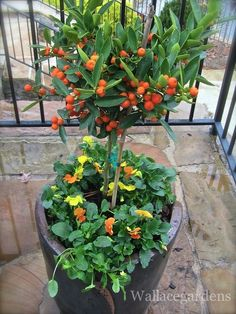 """This little citrus tree was given to me by one of my nurseries to """"test drive"""" through the winter. I planted it up with some 'Citrus' Violas and placed it at one of my client's homes in a sunny, exposed area. *fingers crossed* Let's hope it truly is hardy to Zone 6 (we're in Zone 7B here in Georgia). I'll continue to feed it Moo Poo Tea fromAuthentic Haven Natural Brew through the winter."""