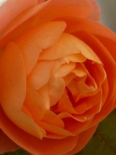 Роза в саду в Норвегии David Austin🌹