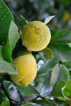 What, when and how to fertilise citrus trees | Bean There Dug That