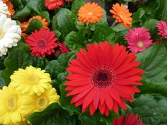 Yellow deep red & orange ones - Gerbera Daisy.