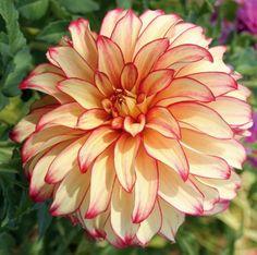 Dekoratív - FEXIN Virághagyma Webáruház virághagymák, virághagyma rendelés, virághagyma, holland virághagyma, virág, gumós virágok, hagymás virágok, tavaszi virágok, nyári virágok, őszi virágok, különleges virágok, kerti virágok, cserepes virágok, dughagyma, tulipán, tulipánhagyma, tulipánok, nárcisz, amarillisz, díszhagyma, jácint, krókusz, virághagyma, virághagymák