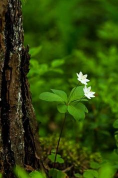 Little white forest flowers Forest Flowers, Wild Flowers, Forest Plants, Belle Image Nature, Woodland Garden, Walk In The Woods, Belle Photo, Mother Earth, Beautiful World